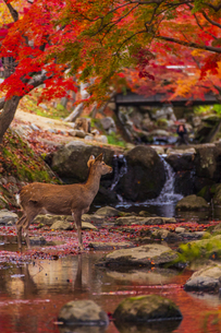 奈良県 紅葉の奈良公園と鹿の写真素材 [FYI04491935]