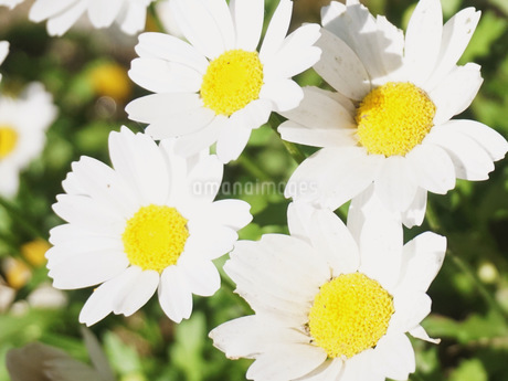 ノースポール 花冠の写真素材 [FYI04491952]