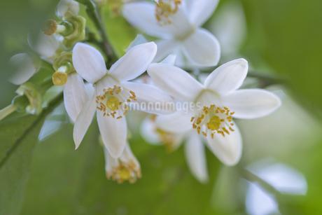 夏みかんの花の写真素材 [FYI04492163]