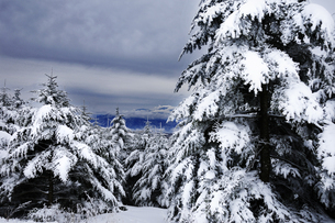 霧ヶ峰高原樹氷の針葉樹の写真素材 [FYI04492231]