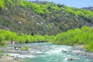 新緑の寒河江川の写真素材 [FYI04492244]