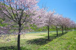 桜の写真素材 [FYI04492249]