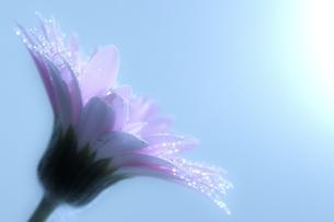 ガーベラと水滴の写真素材 [FYI04492692]
