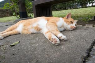 ホウトン猫村、寝転ぶ茶白のネコの写真素材 [FYI04492771]