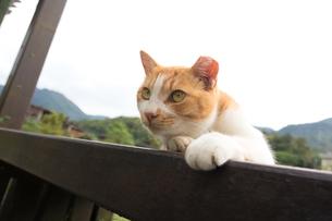 ホウトン猫村、寝そべる茶白のネコの写真素材 [FYI04492790]