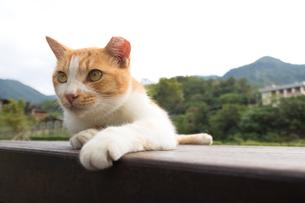 ホウトン猫村、寝そべる茶白のネコの写真素材 [FYI04492791]