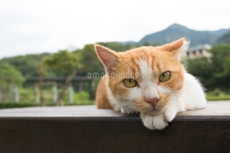 ホウトン猫村、寝そべる茶白のネコの写真素材 [FYI04492792]