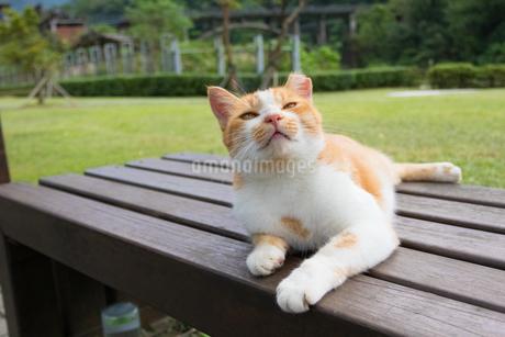 ホウトン猫村、日向ぼっこする茶白ネコの写真素材 [FYI04492793]