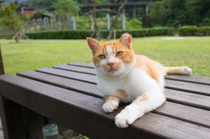 ホウトン猫村、日向ぼっこする茶白ネコの写真素材 [FYI04492794]
