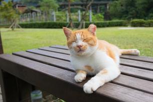 ホウトン猫村、日向ぼっこする茶白ネコの写真素材 [FYI04492795]