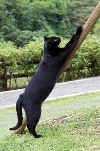ホウトン猫村、爪とぎをする黒猫の写真素材 [FYI04492805]