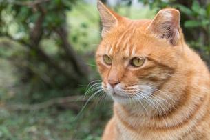 ホウトン猫村、猫の横顔の写真素材 [FYI04492806]