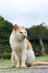 ホウトン猫村、お座りする茶白のネコの写真素材 [FYI04492807]