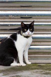 タイトル未設定ホウトン猫村の黒白猫の写真素材 [FYI04492824]
