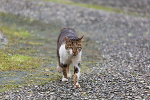 ホウトン猫村の砂利道を歩くネコの写真素材 [FYI04492833]