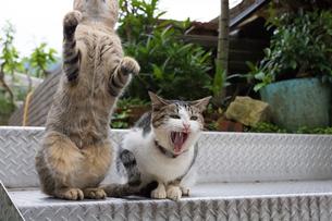 ホウトン猫村、猫じゃらしに興奮する猫たちの写真素材 [FYI04492837]