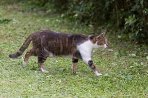 台湾猫村、芝生を歩くネコの写真素材 [FYI04492848]