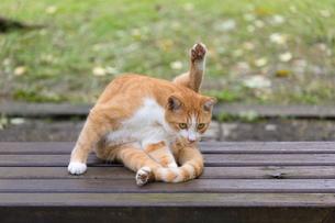 台湾猫村、毛づくろい中の茶白ネコの写真素材 [FYI04492850]