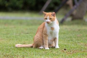 台湾猫村、芝生に佇むネコの写真素材 [FYI04492879]