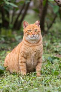 台湾猫村、草むらで座るネコの写真素材 [FYI04492882]