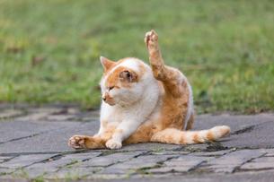 台湾猫村、毛づくろいをする茶白猫の写真素材 [FYI04492884]