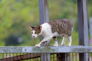 猫村、ホウトンの鉄柵を歩く猫の写真素材 [FYI04492888]