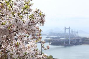 瀬戸大橋と桜の写真素材 [FYI04493154]
