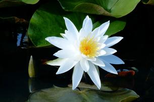 白蓮の花の写真素材 [FYI04493203]