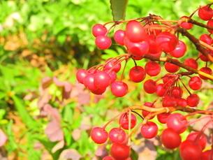 ビビットな花園の中の赤い実の写真素材 [FYI04493228]