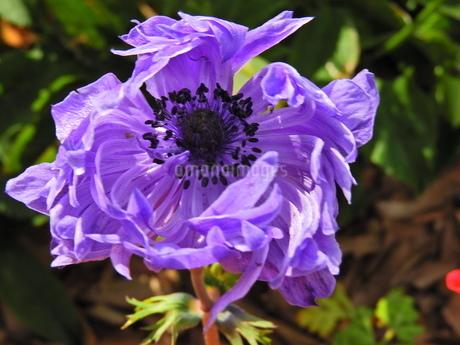 紫に輝いている花のクローズアップの写真素材 [FYI04493229]