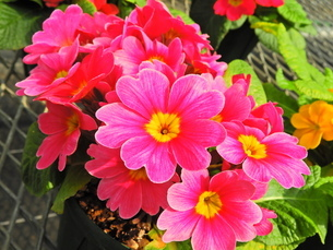 ビビットな花園の中の朱色の花の写真素材 [FYI04493233]
