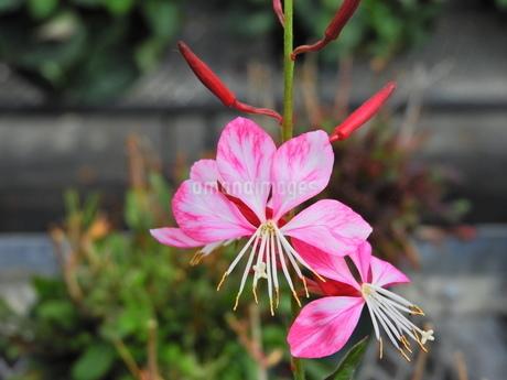ビビットな花園の中のピンクと白の混じった花の写真素材 [FYI04493234]