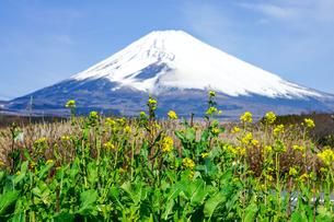 菜の花の咲くパノラマロードから富士山の写真素材 [FYI04494361]