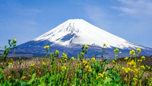 菜の花の咲くパノラマロードから富士山の写真素材 [FYI04494362]