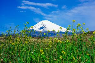 菜の花の咲くパノラマロードから富士山の写真素材 [FYI04494364]