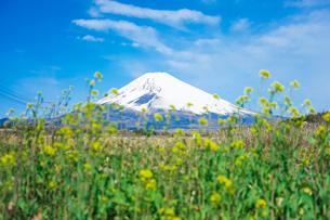 菜の花の咲くパノラマロードから富士山の写真素材 [FYI04494365]