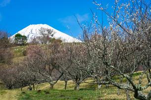 パノラマロード沿いの裾野市梅の里 梅林から富士山の写真素材 [FYI04494366]