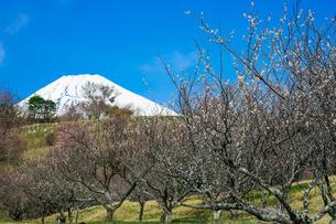 パノラマロード沿いの裾野市梅の里 梅林から富士山の写真素材 [FYI04494367]