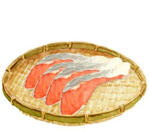 水彩 ザルに並べた鮭 切り身 4切れのイラスト素材 [FYI04494589]