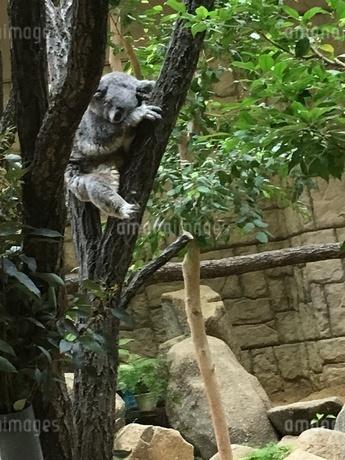 東山動物園のコアラの写真素材 [FYI04494660]