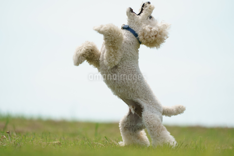 公園で飛び跳ねるトイプードルの写真素材 [FYI04495092]