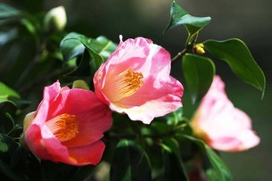 椿・楼蘭の花の写真素材 [FYI04495383]