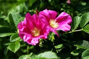 バラ・紅いハマナスの花の写真素材 [FYI04495389]