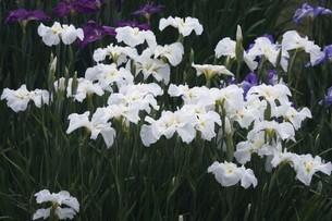 花菖蒲・白色と紫色の花の写真素材 [FYI04495390]