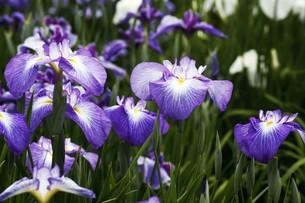 花菖蒲・紫色の花の写真素材 [FYI04495391]