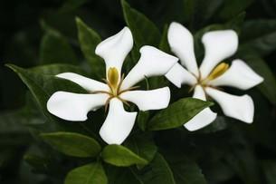 クチナシ・一重咲きの花の写真素材 [FYI04495395]