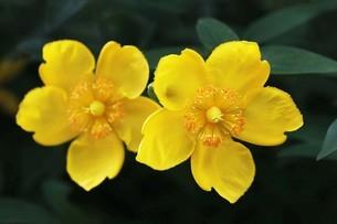 キンシバイの花の写真素材 [FYI04495397]