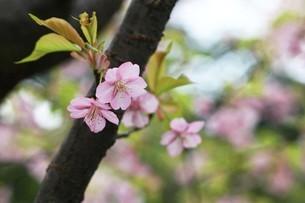 桜・河津桜の花の写真素材 [FYI04495409]