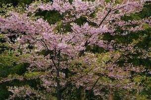 桜・河津桜の花の写真素材 [FYI04495412]
