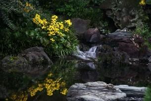 日本庭園に咲くツワブキの花の写真素材 [FYI04495632]